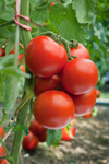 Researchers have found that the ultra- common tomato has a nutrient that could help prevent  vascular diseases. Any condition that affects the heart's  ability to pump blood is a vascular disease. The tomato  was found to lower cholesterol and fat in the blood.