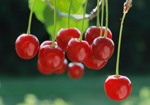 Cherry juice could help strengthen your muscles after exercise by stopping oxidative damage.