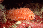 Sea Cucumber Cancer
