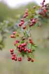 Hawthorn could be used to treat a number of cardiovascular diseases. It contains flavonoids and oligomeric procyanidins that could protect and heal the heart.