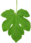 Fig leaves have strong antioxidant, anti-inflammatory properties. Fig leaves also help to balance insulin levels.