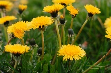 Dandelion greens contain nutrients that could fight pancreatic cancer.