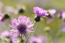 Milk thistle has been used for millennia as an herbal remedy for a variety of ailments.