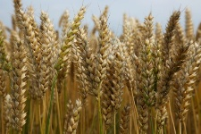 People with celiac disease have problems digesting many grains.