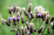 Milk thistle could protect your skin from cancer and aging.