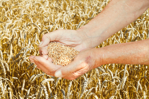 Wheat Germ Is a Superfood