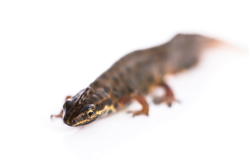 Newts Help Devise Osteoarthritis Treatment