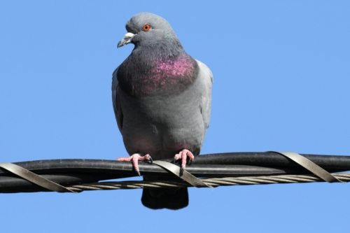 Pigeons Cancer Radiographs