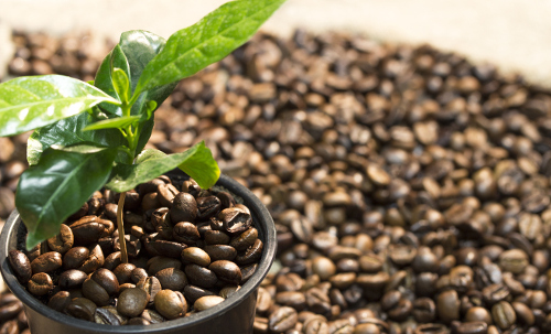 Homeopathic Coffea