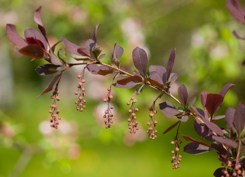 Homeopathic Berberis (Barberry)
