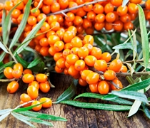 Seabuckthorn Berry Oil Benefits