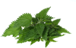Stinging Nettle and Don Quai are two herbs that can be used to treat the symptoms of menopause. Other uses for these herbs.