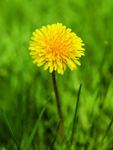 Dandelion has potential anti-cancer properties. Other conditions dandelion could help treat. How to take dandelion.
