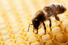 The Buzz About Homeopathy and Bees
