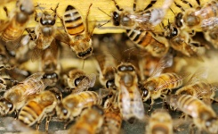 Bees use propolis to fight infection.