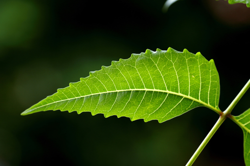 Neem leaves and pancreatic cancer