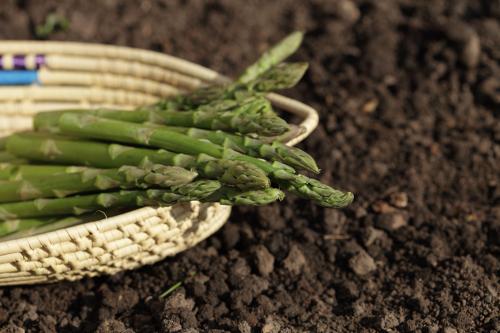 Asparagus gardening
