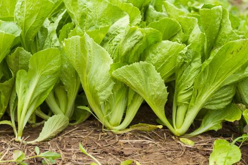 Mustard Greens nutrition
