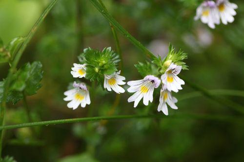 Homeopathic Euphrasia