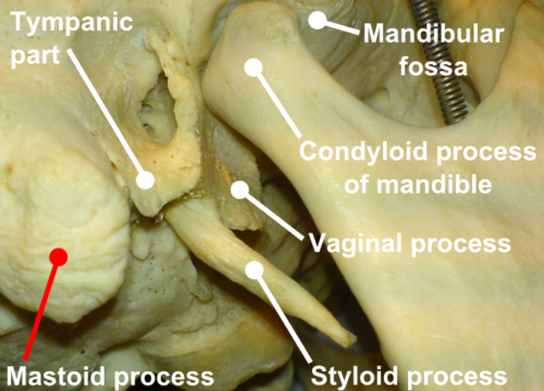 mastoid process function
